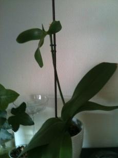 Son orchidée
